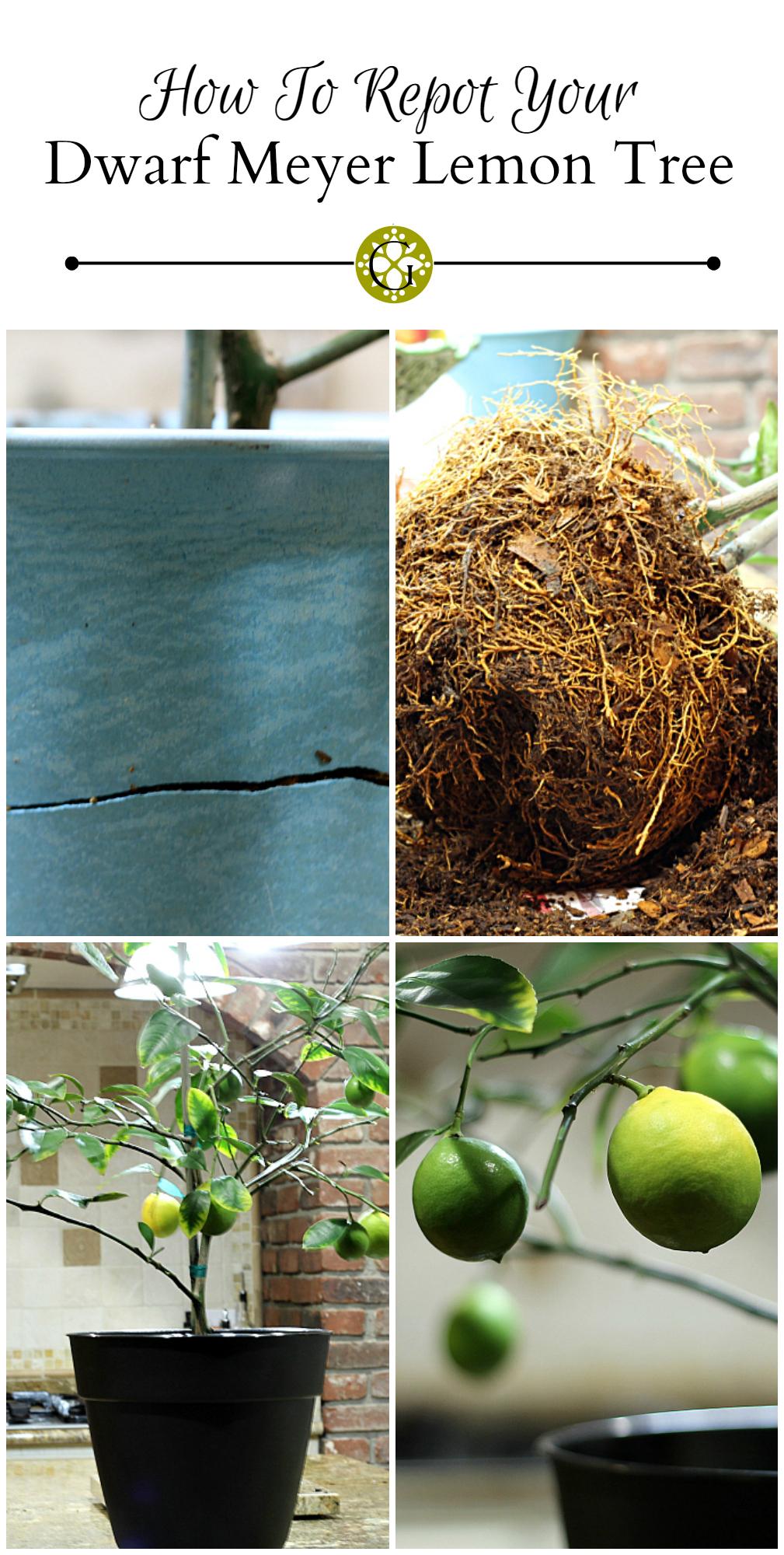 Repot Meyer Lemon Tree pin ~gardenmatter.com