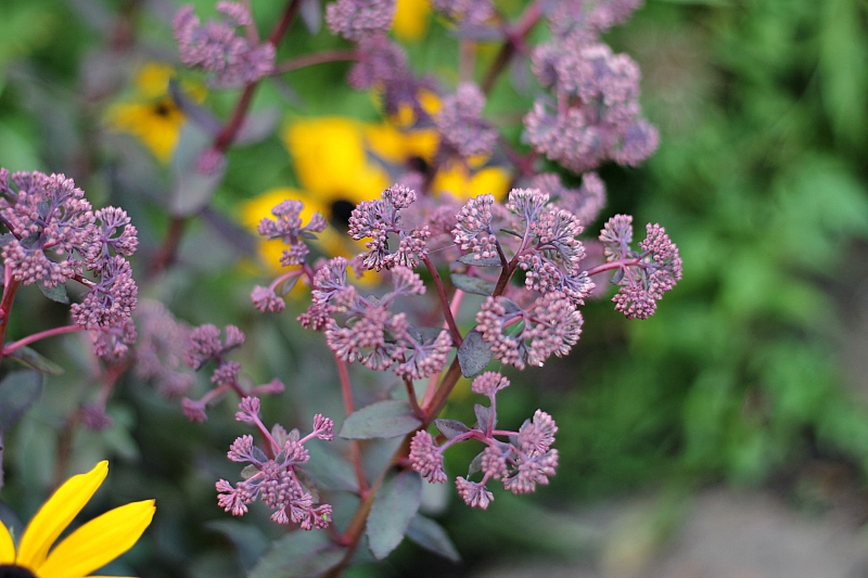 Sedum Maestro flowers ~ gardenmatter.com