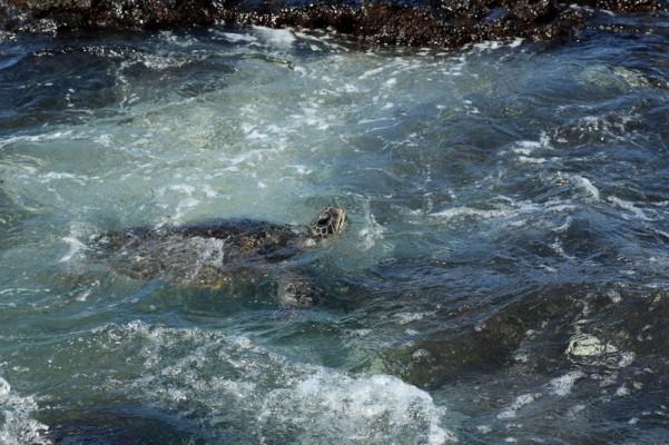 TurtleNose