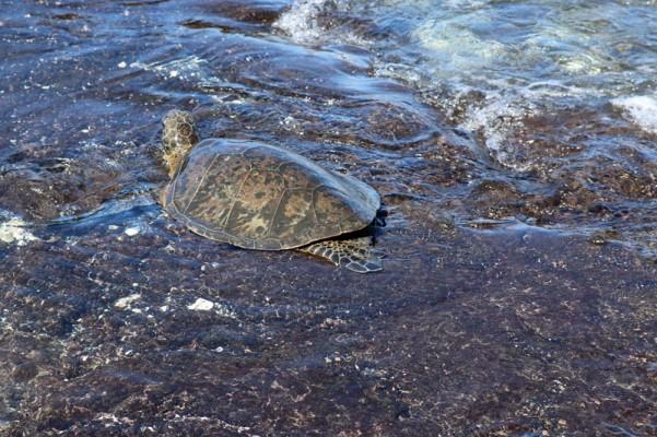 TurtleOut