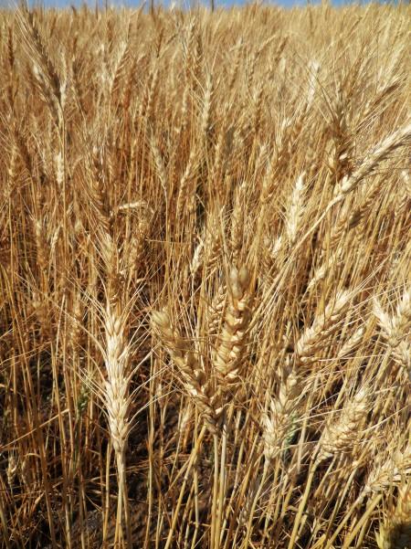 WheatCls