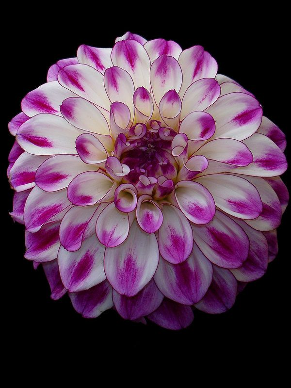 white and pink dahlia by *dadanation~
