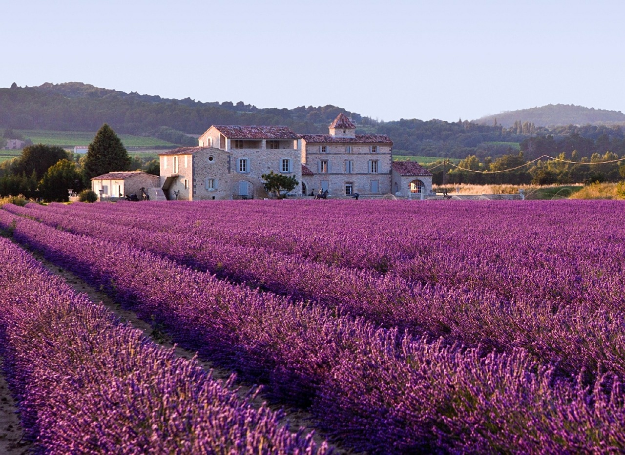 lavender field photo