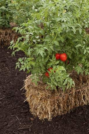 When the tomatoes are ripening they can need a lot of water.