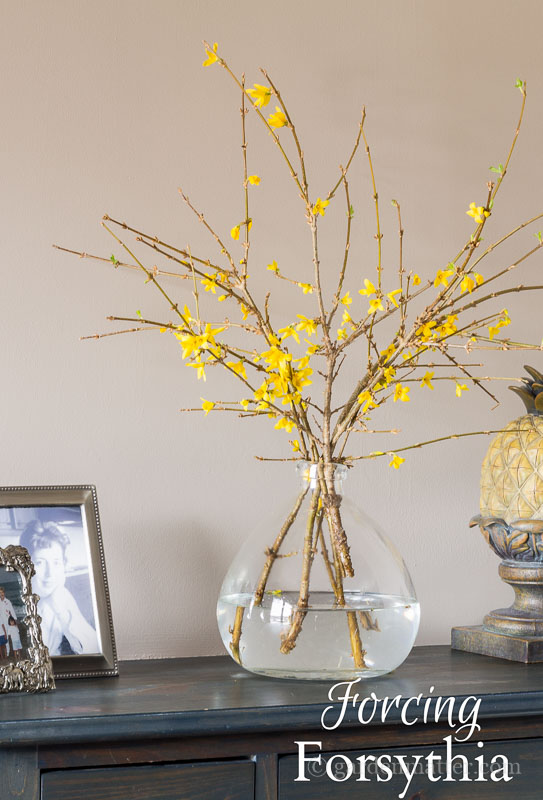 blooming forsythia in a vase ~ forcing forsythia ~ gardenmatter.com