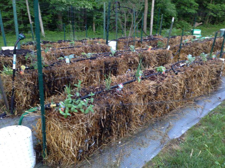Watering a straw bale garden dan330 for Straw bale gardening joel karsten
