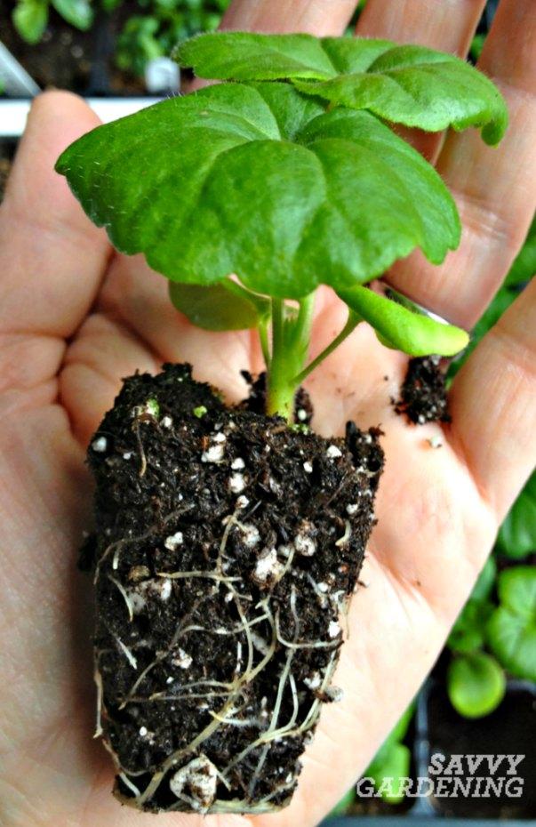 geranium-seedling