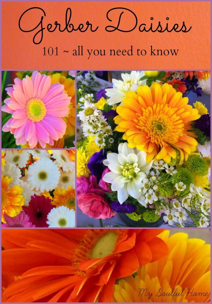 gerber-daisies-guide-1
