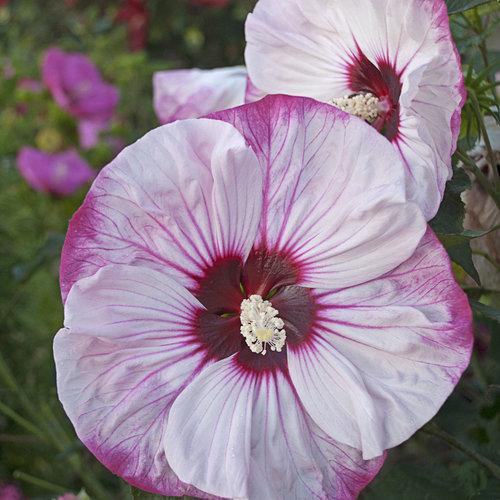 hibiscus-cherrycheesecake_mainimage