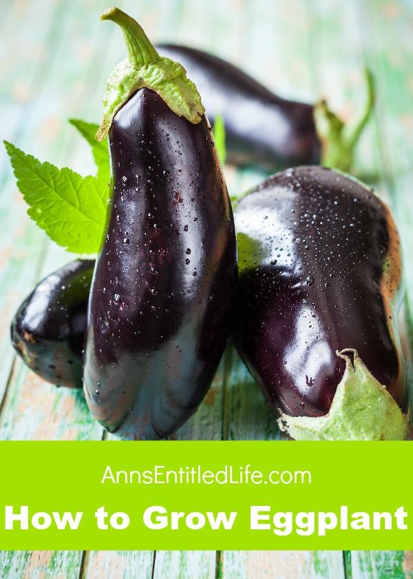 how-to-gro-eggplant