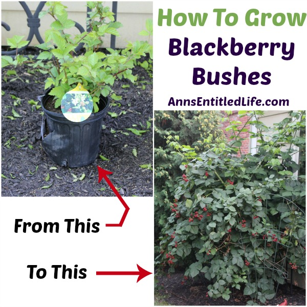 how-to-grow-blackberry-bushes