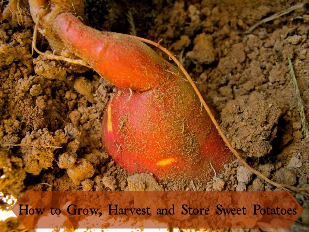 how-to-grow-sweet-potatoes-1024x768