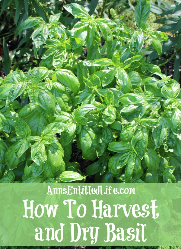 how-to-harvest-and-dry-basil