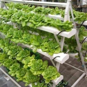 lettuce-hydroponic-gardening