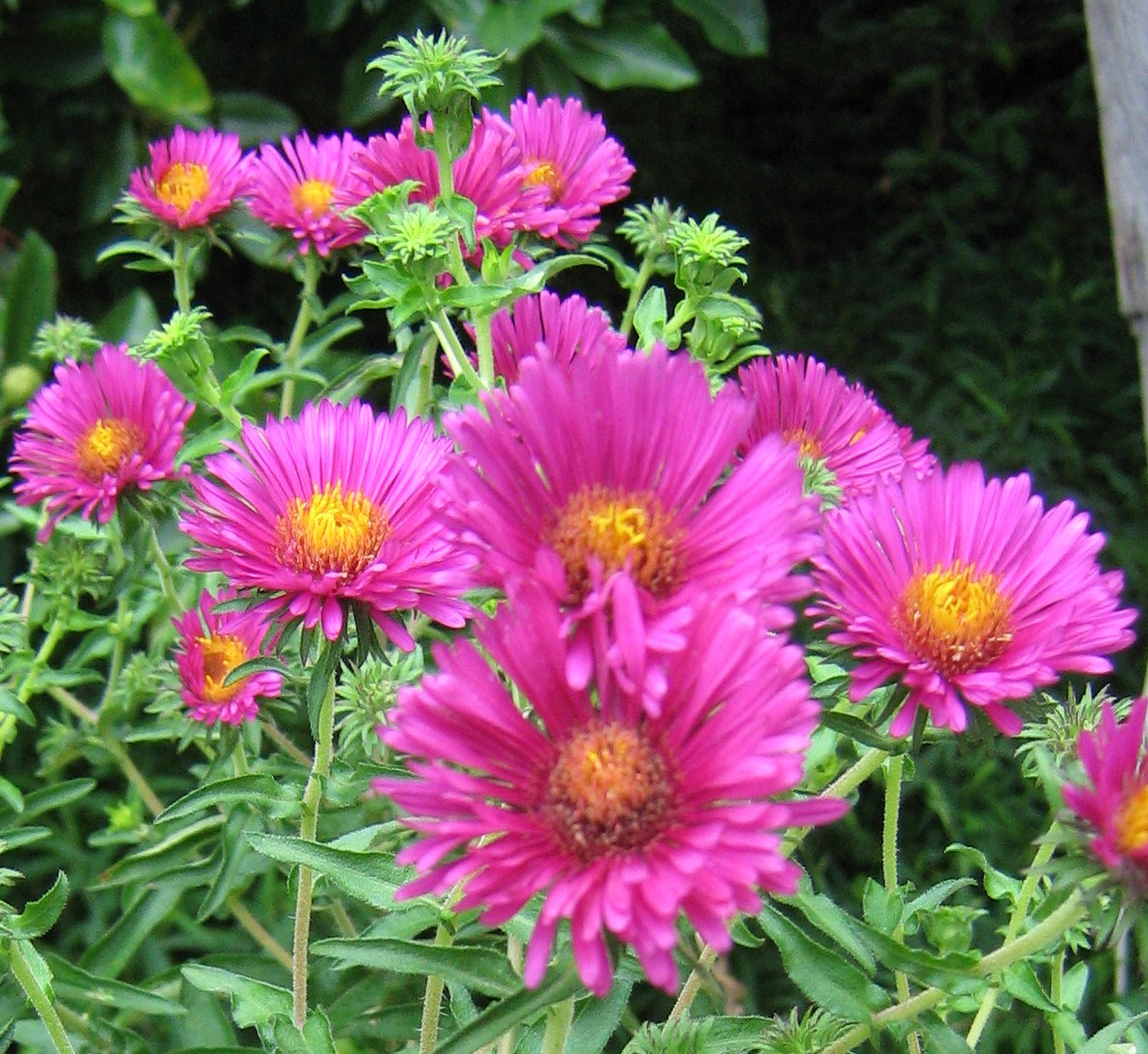 perennial-plants-aster-plants---perennial-aster-plants---fall-blooming-asters--photos
