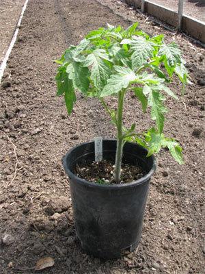 seedlingreadyt