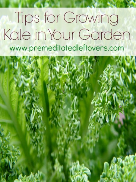 tips-for-growing-kale-in-your-garden