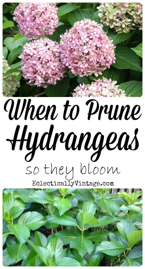 when-to-prune-hydrangeas