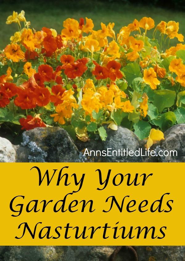 why-your-garden-needs-Nasturtiums