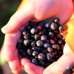 Picking Wild Blueberries at Elbow Lake