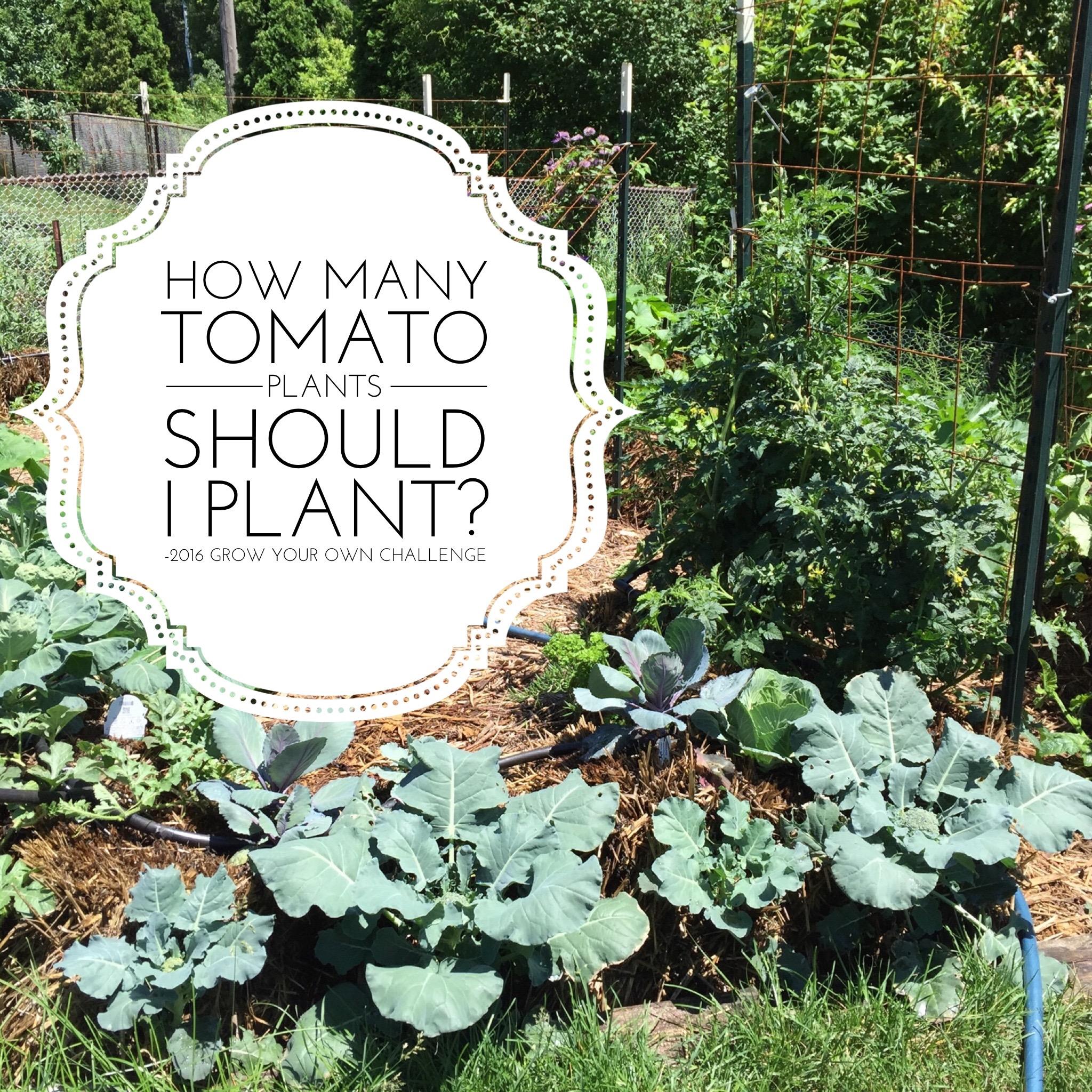 how many tomato plants should I plant