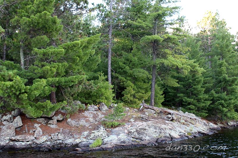 White Pine on Elbow Lake