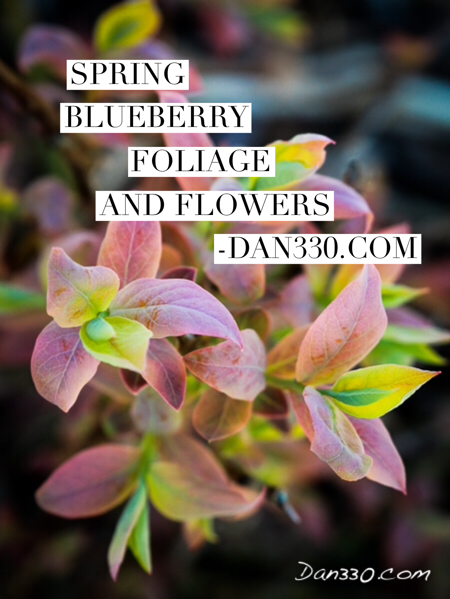 Blueberry flowers